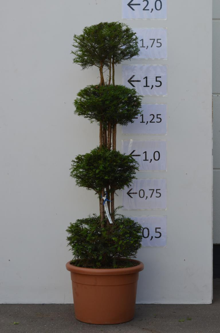 eibe einzelst ck taxus baccata bonsai formgeh lz g nstig online kaufen. Black Bedroom Furniture Sets. Home Design Ideas
