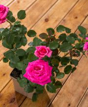 Edelrose Royal Rose Nirp