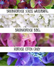 Hortensien Color Selection