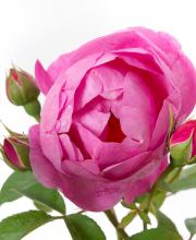 Rose Royal Jubilee