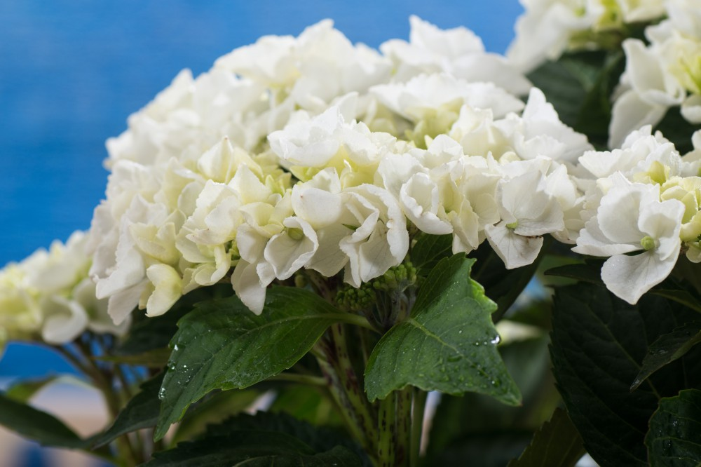 tellerhortensie mistral hydrangea macrophylla mistral. Black Bedroom Furniture Sets. Home Design Ideas