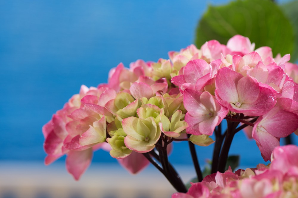 tellerhortensie punch curacao pink hydrangea. Black Bedroom Furniture Sets. Home Design Ideas