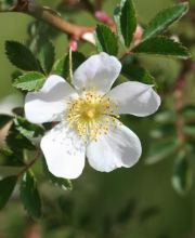 Rose agrestis