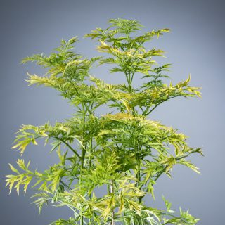Holunder Golden Tower / Sambucus nigra Golden Tower