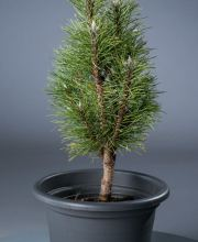 Schwarzkiefer Richard, Pinus nigra Richard