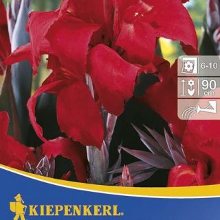 blumenrohr black knight kiepenkerl canna indica hybriden. Black Bedroom Furniture Sets. Home Design Ideas