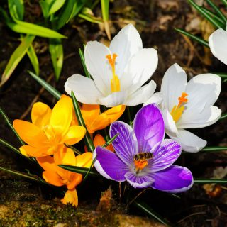 Krokusse Mix / Crocus Mix