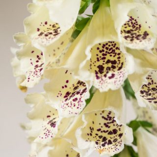 Fingerhut Dalmation White / Digitalis purpurea Dalmatian White