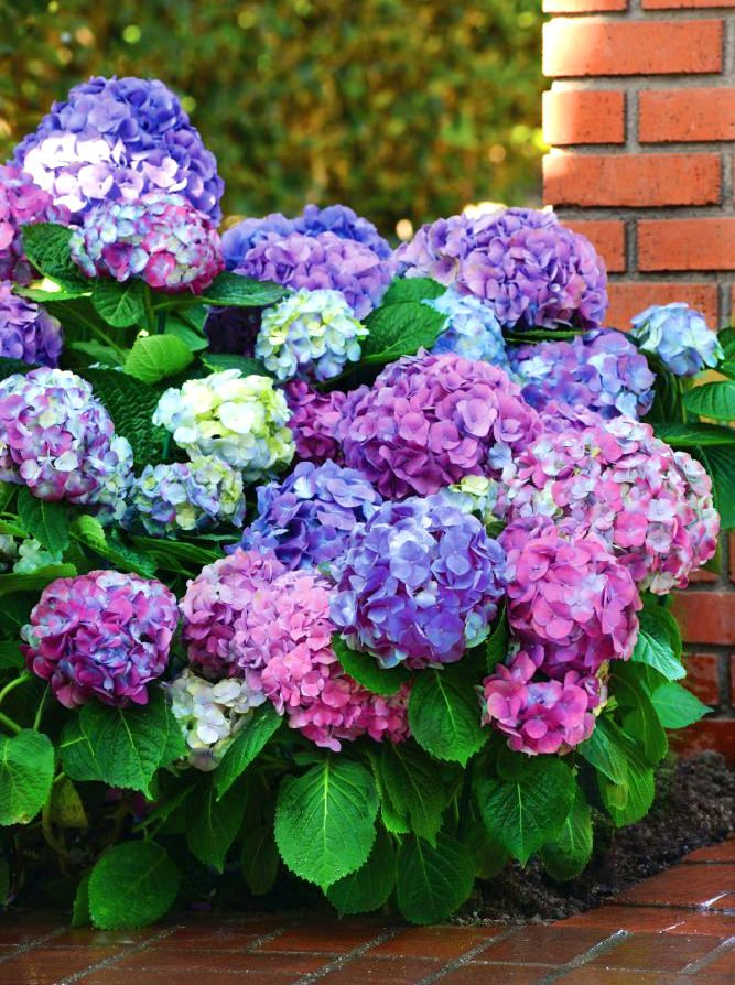 hortensie l a dreamin hydrangea macrophylla l a dreamin g nstig online kaufen. Black Bedroom Furniture Sets. Home Design Ideas