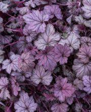 Purpurglöckchen Forever Purple, Heuchera cultorum Forever Purple