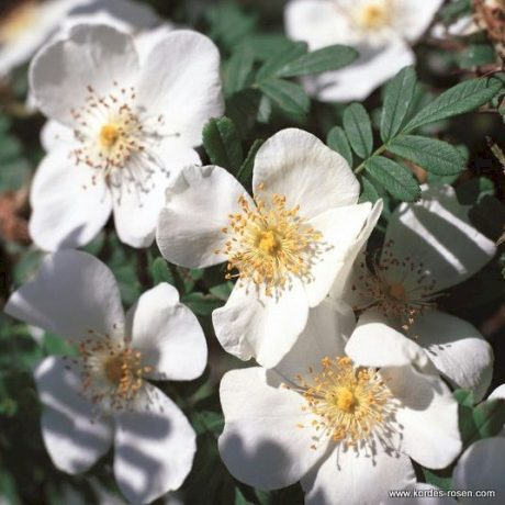 Rose Omeiensis pteracantha
