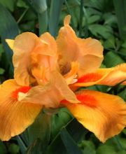 Zwergige Schwertlilie Orange Tiger, Iris barbata nana Orange Tiger