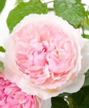Rose The Wedgewood Rose ®