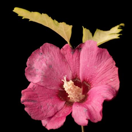 Hibiskus Pink Power / Hibiscus multiflora Pink Power