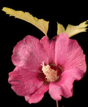 Hibiskus Pink Power