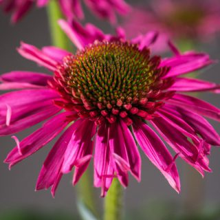 Sonnenhut Echinacea Delicious Candy ® / Echinacea Delicious Candy ®
