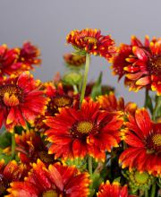 Malerblume Red Shades, Gaillardia aristata Red Shades