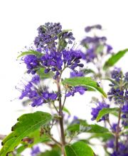 Bartblume First Blue, Caryopteris clandonensis First Blue