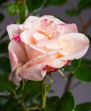 Rose Oh Happy Day ®