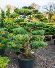 Pfitzer Wacholder Bonsai, Juniperus media Pfitzeriana Bonsai