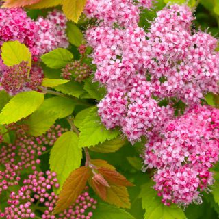 Sommerspiere Double Play Big Bang / Spiraea jap. Double Play Big Bang
