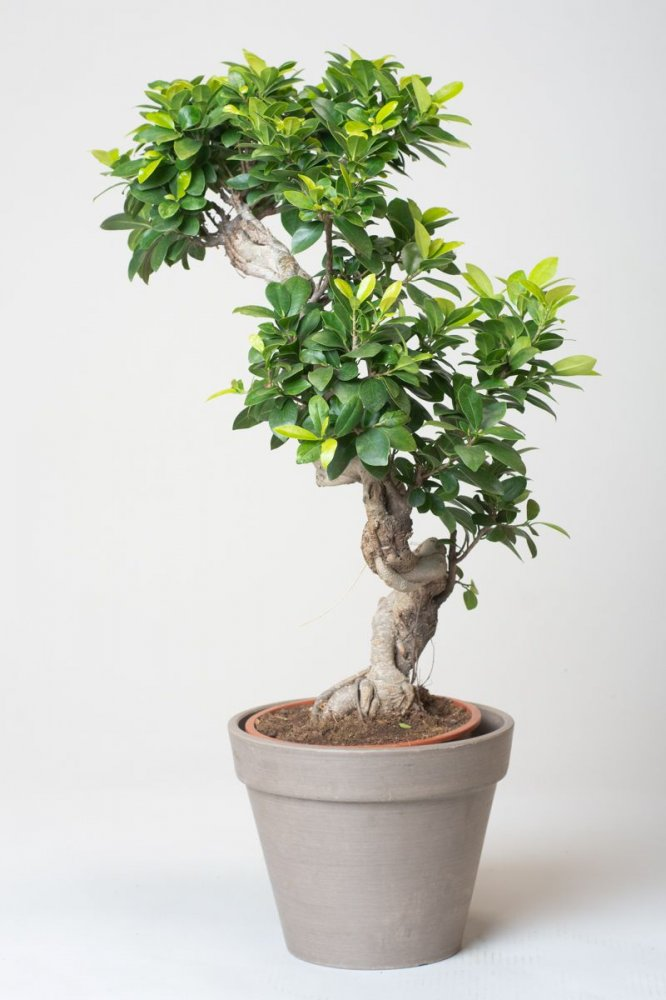 ficus bonsai ginseng ficus microcarpa ginseng g nstig online kaufen. Black Bedroom Furniture Sets. Home Design Ideas