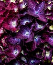 Hortensie Music Collection Deep Purple Dance, Hydrangea macrophylla Deep Purple Dance
