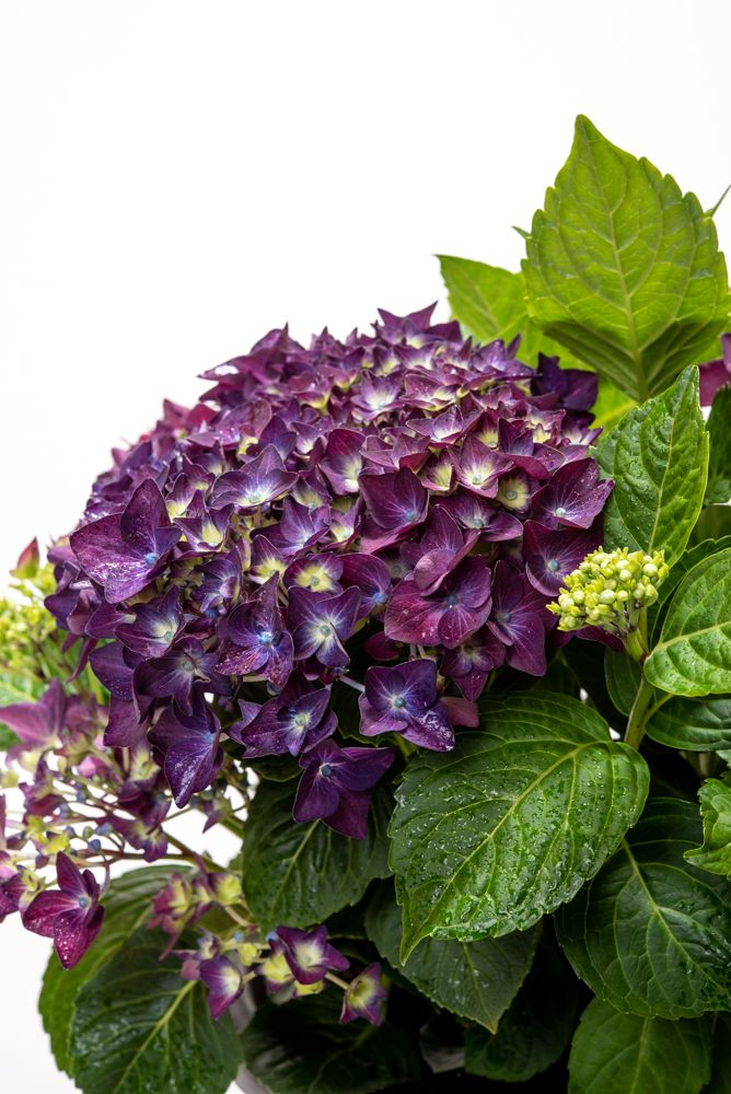 hortensie music collection deep purple dance hydrangea. Black Bedroom Furniture Sets. Home Design Ideas