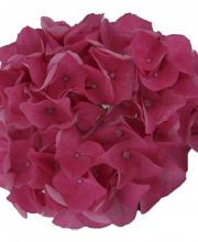 Hortensie Music Collection Pink Pop, Hydrangea macrophylla Pink Pop