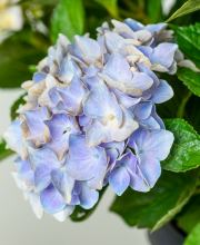 Hortensie Music Collection Blue Ballad, Hydrangea macrophylla Blue Ballad