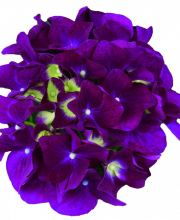 Hortensie Music Collection Purple Punk, Hydrangea macrophylla Purple Punk