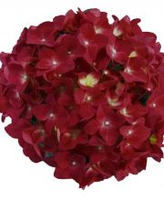 Hortensie Music Collection Red Reggae, Hydrangea macrophylla Red Reggae
