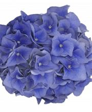 Hortensie Music Collection Blue Boogie Woogie, Hydrangea macrophylla Blue Boogie Woogie