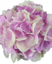 Hortensie Music Collection Soft Pink Salsa, Hydrangea macrophylla Soft Pink Salsa