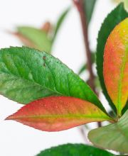 Kompakte Glanzmispel Carre Rouge / Glanzmispel Carre Rouge, Photinia fraseri Carre Rouge