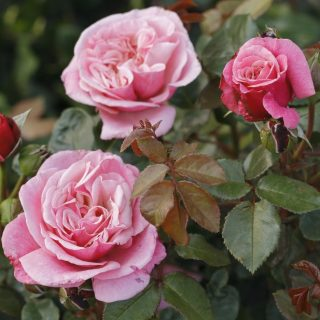 Rose Wildberry ® / Rosa Wildberry ®