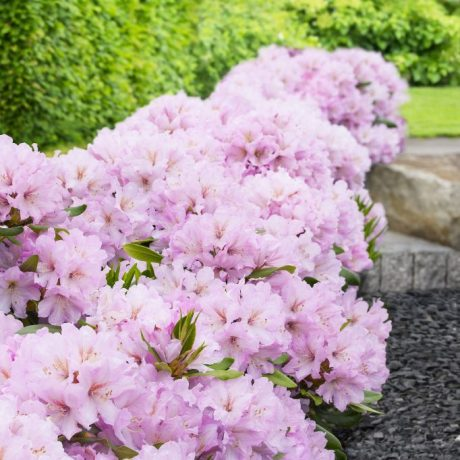 Rhododendron Dufthecke, rosa