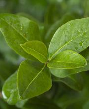 Liguster Green Diamond, Ligustrum ovalifolium Green Diamond