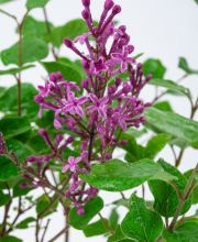 Edelflieder Bloomerang® Dark Purple, Syringa Bloomerang® Dark Purple