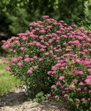 Japan-Spiere Superstar ®, Spiraea japonica Superstar ®