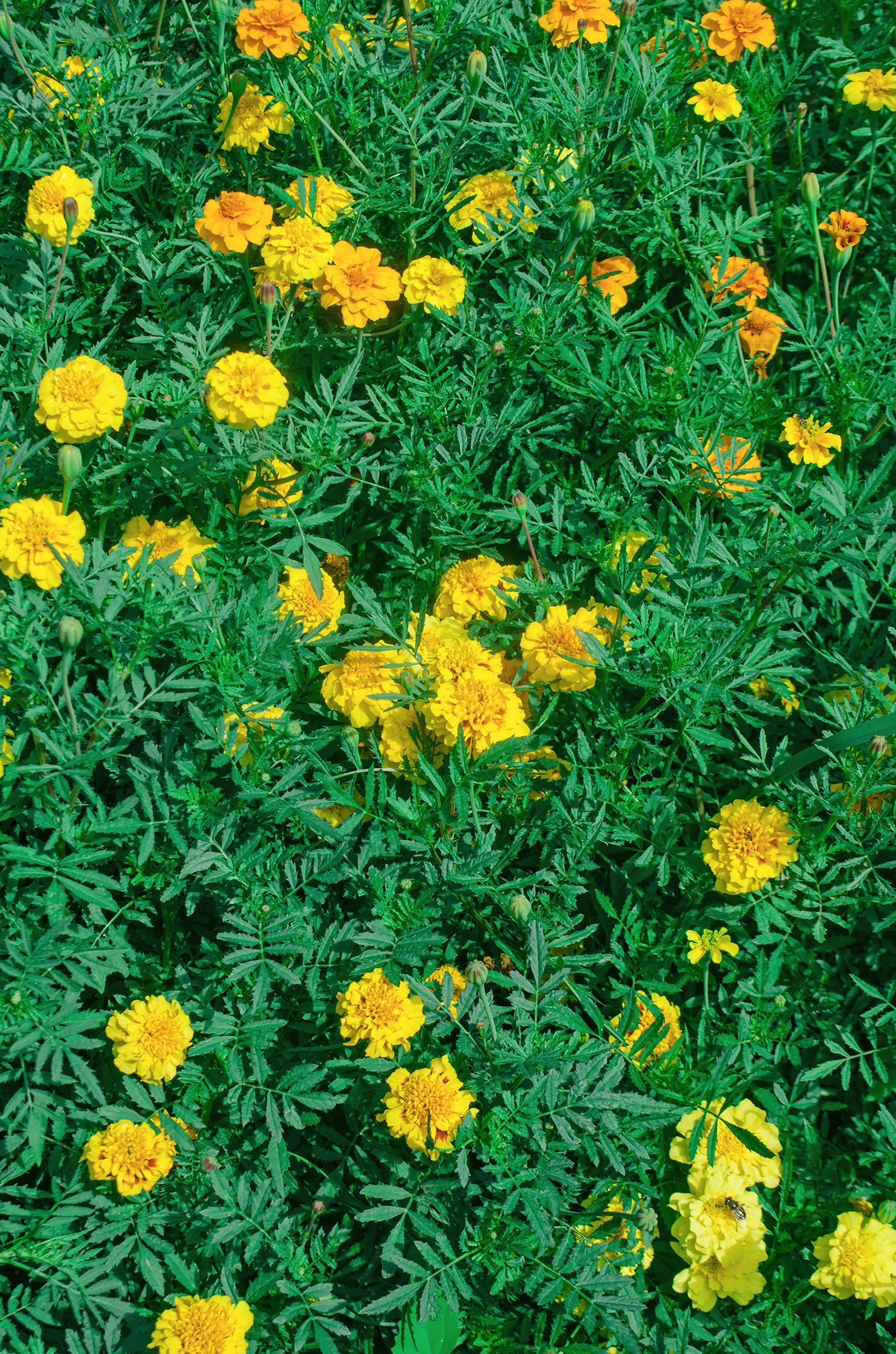 Strauch Tagetes