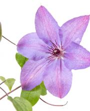 Clematis Minister