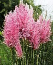 Pampasgras Pink Feather, Cortaderia selloana Pink Feather