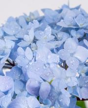 Gartenhortensie Endless Summer Blau