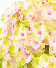 Hortensie Magical® four Seasons