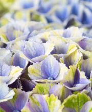 Hortensie Magical® four Seasons, blau