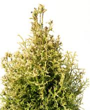 Thuja occidentalis Miss Frosty