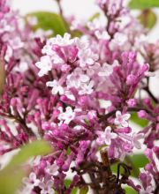 Zwergflieder Flowerfest Purple, Syringa microphylla Flowerfest Purple