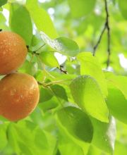 Zwergobst Aprikose Orange Beauty, Prunus armeniaca Orange Beauty
