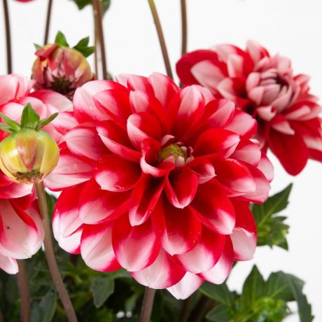 Dahlia Lubega Power Scarlet White
